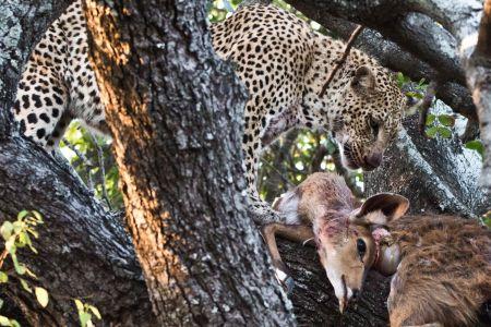 Leopard mit erlegtem Buschbock in einer Baumkrone