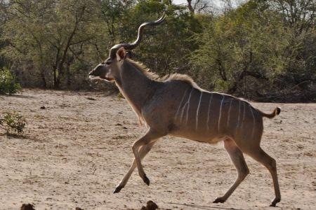 afrikanischer Kudu
