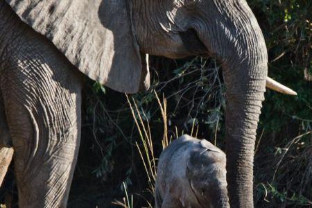 Elefanten Kuh mit ca. 3 Wochen altem Elefanten Baby