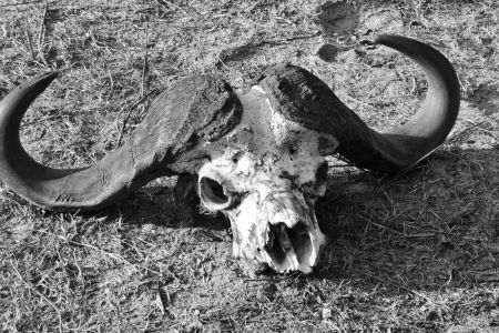 Überresten eines Büffels
