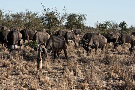 afrikanische Büffel Herde